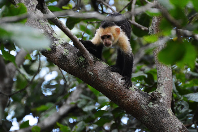 Capuchin Monkey - Seeds of Change