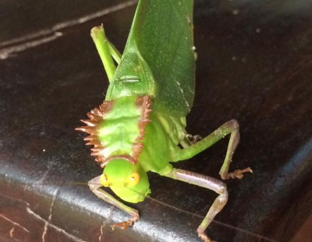 SOC catydid