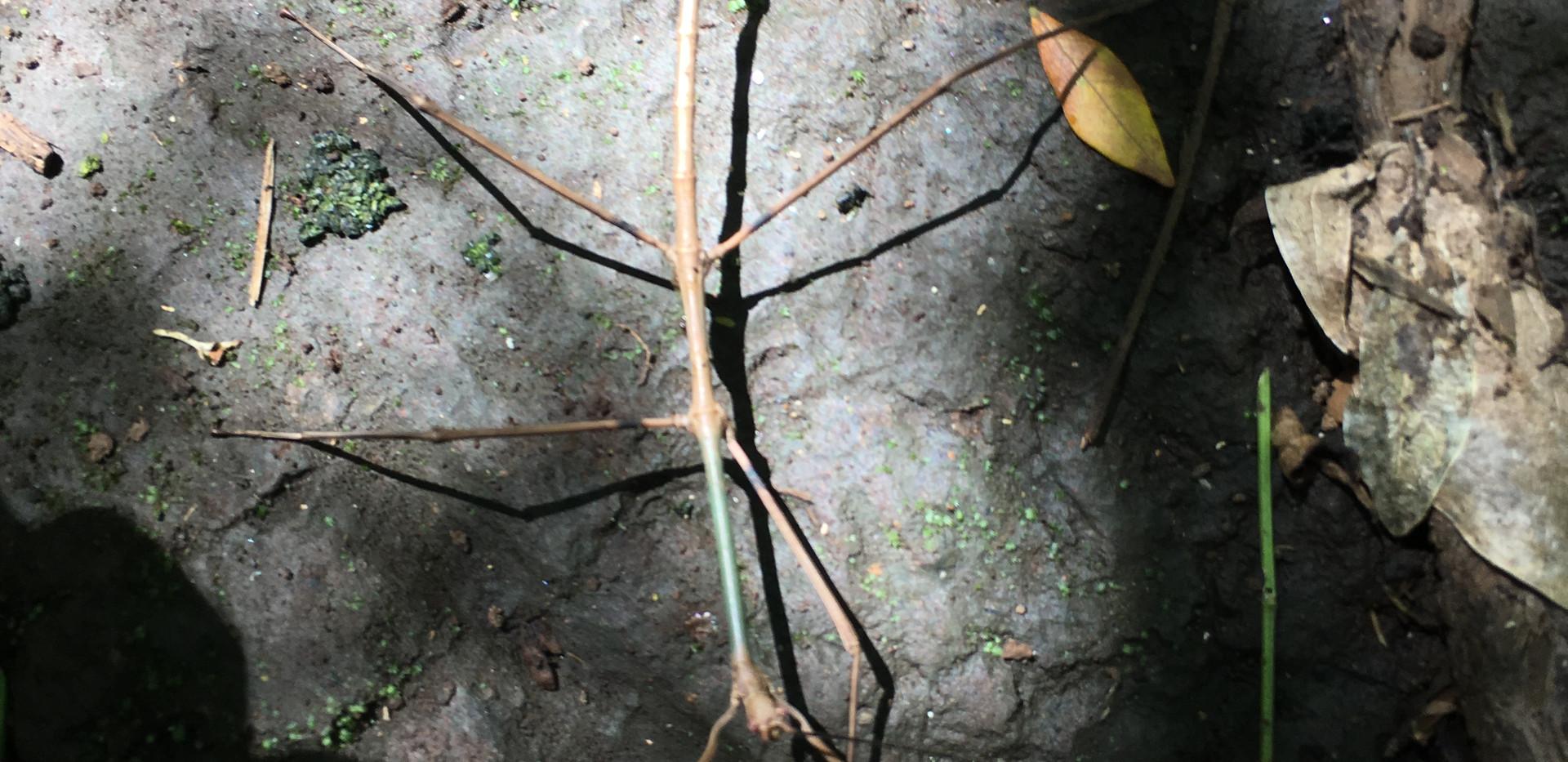Walking Stick - Costa Rica biodiversity