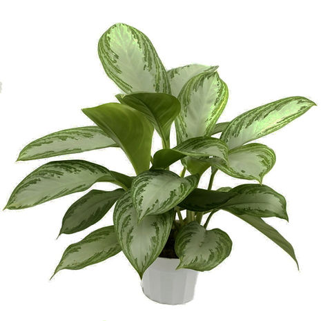 aglaonema (chinese evergreen).jpg