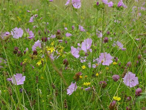 One person's wildflowers are another person's weeds - or are they parsnips?