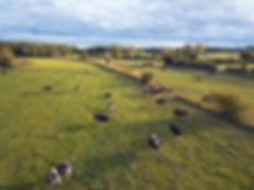 River Meadow Cattle