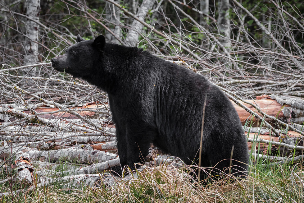 Black Bear3