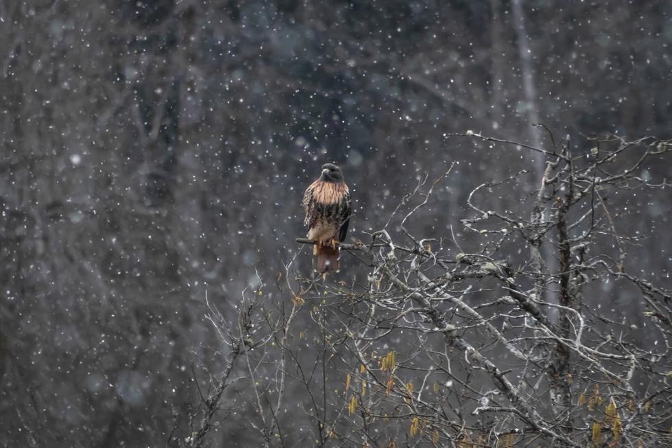 Hawk In Snow