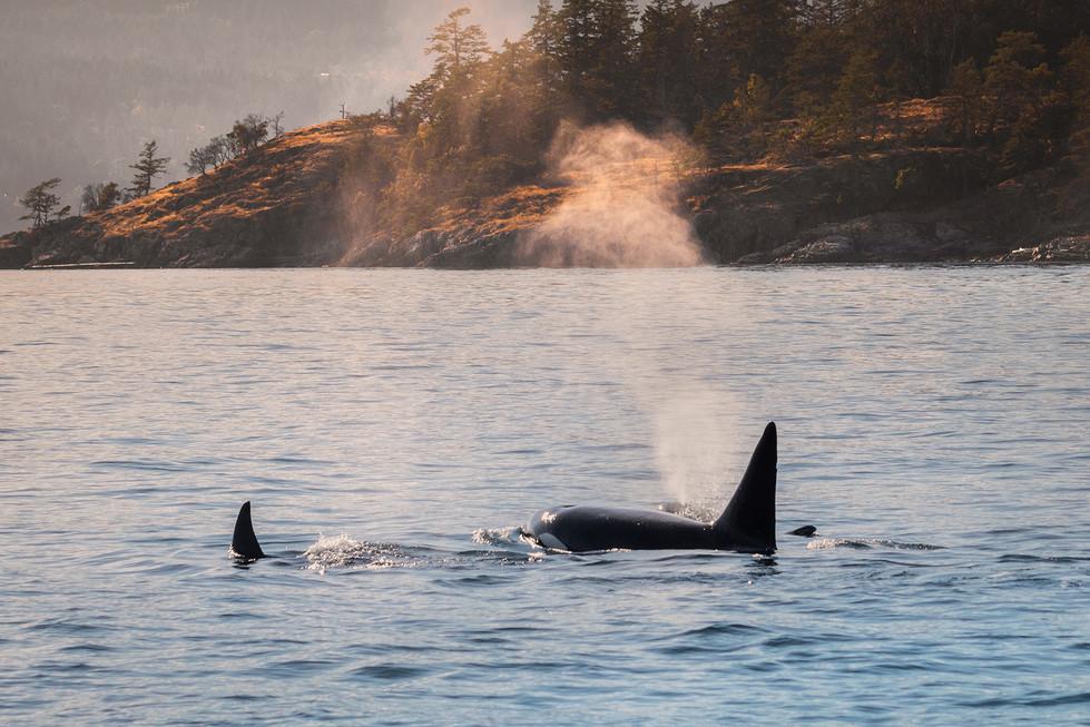 Orca Dusk