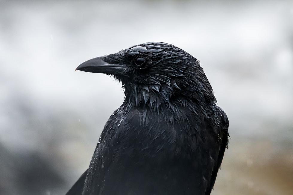 Wet Raven