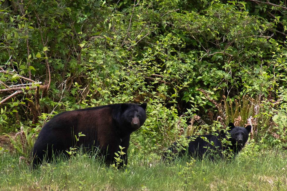 Bear Mom and Cub