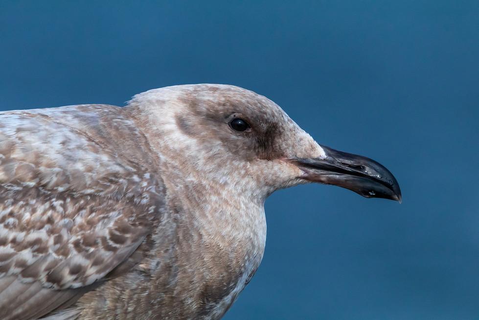 Female Seagull Close-up