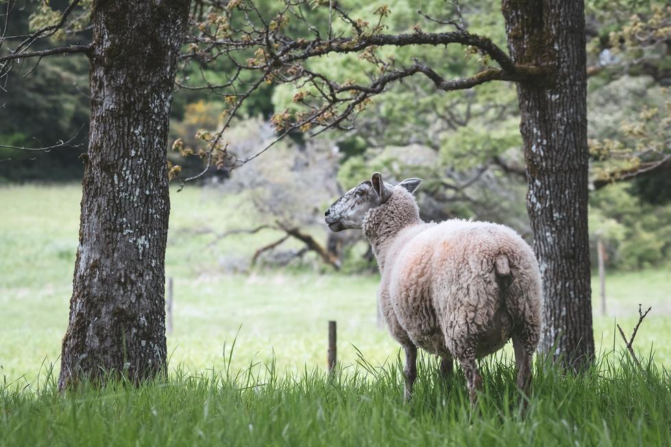 Sheep Trees