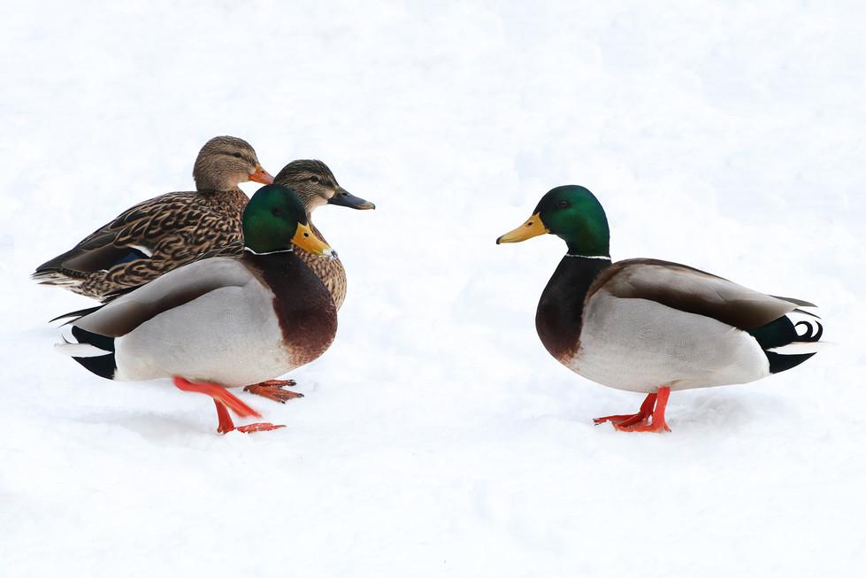 Mallard Ducks On Snow