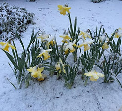 My poor daffodils...jpg
