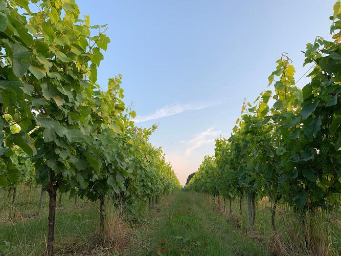 Vlijtingen - wijnranken