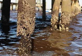 rotting-piling-organism-468x320.jpg