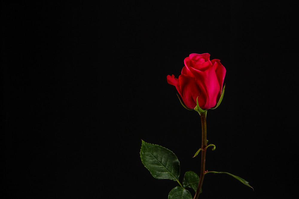 red rose on the black background