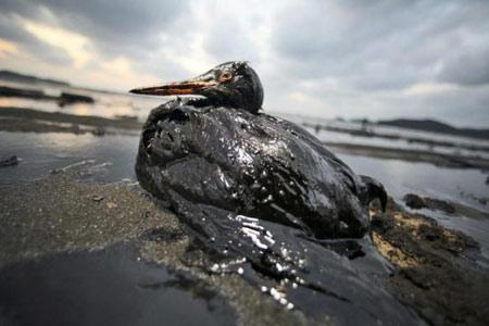 uccello ricoperto di petrolio