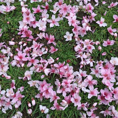 もう桃の花が散りだした!?