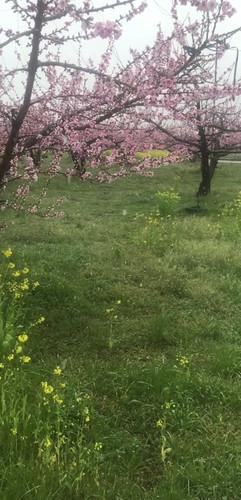 桃の花と雪