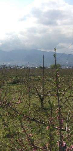 0417リフトから桃畑.jpg