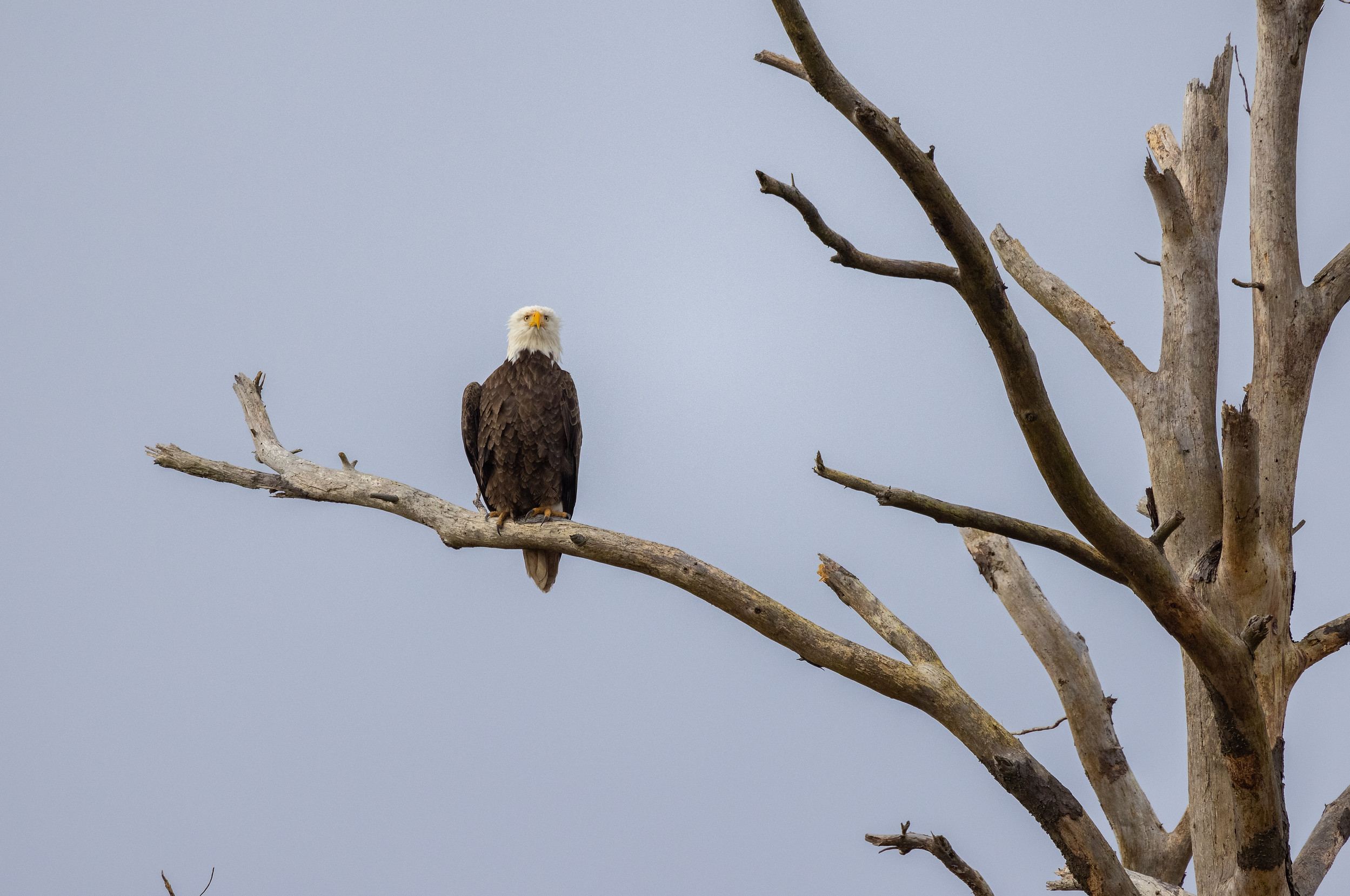 Perched Eagle Series.jpg