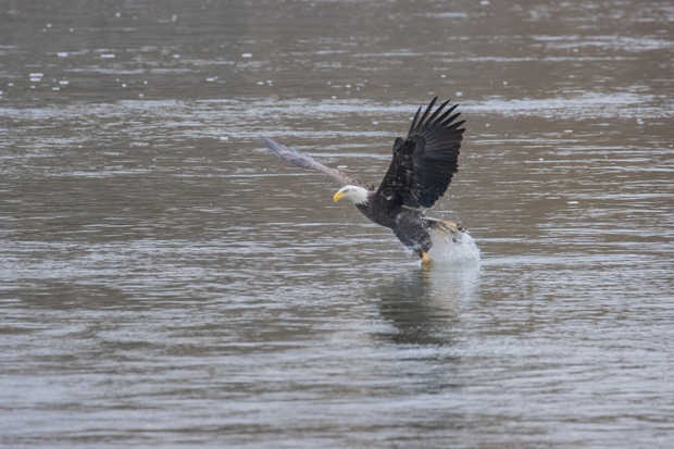 Eagle Fishing 4.jpg