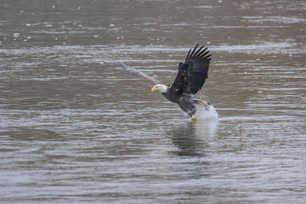 Eagle Fishing 4.jpg