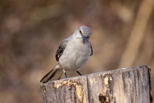 Northern Mockingbird 4.jpg