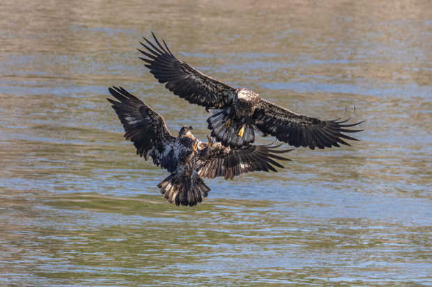 Young Eagles Fighting.jpg