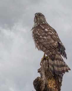 Hawk On the Lookout 6.jpg