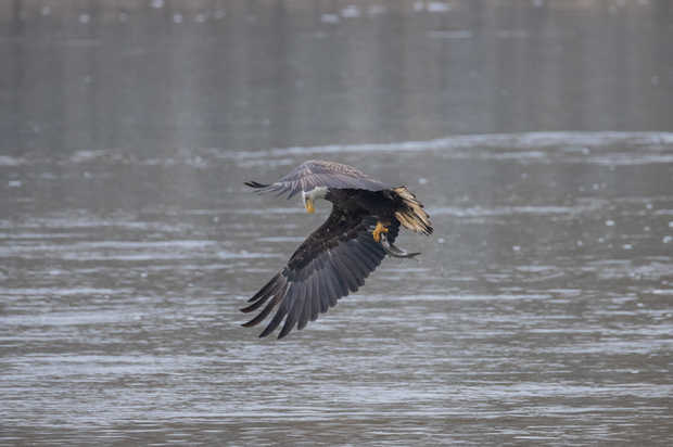 Eagle Fishing 8.jpg