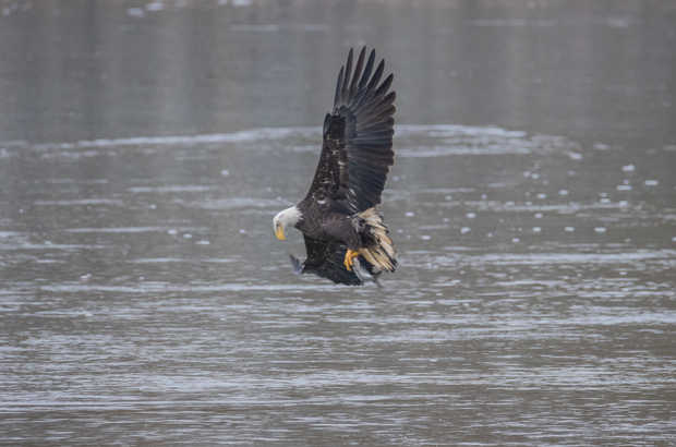 Eagle Fishing 7.jpg