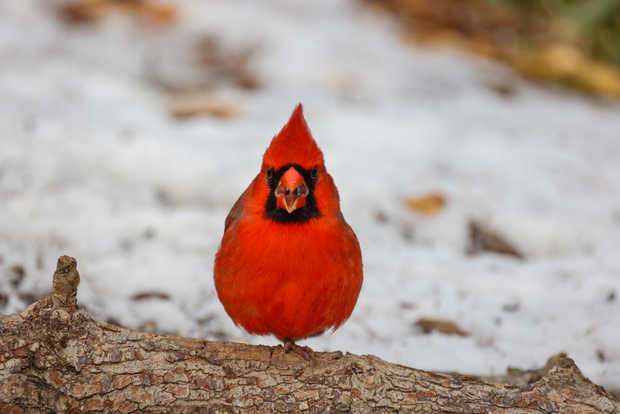 Northern Cardinal Call!.jpg