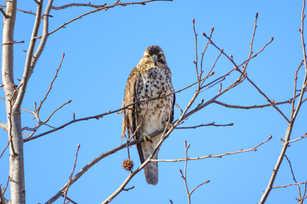 Coopers Hawk Resting.jpg