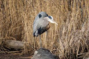 Great Blue Heron Claws.jpg