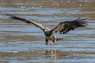 Eagle Preparing to Strike.jpg