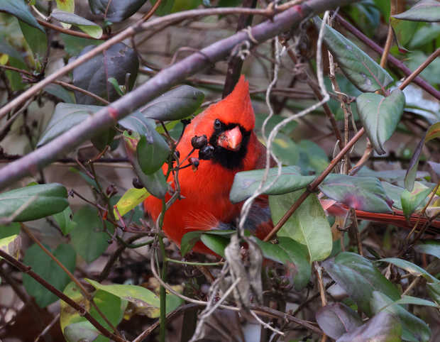 Northern Cardinal Eating.jpg