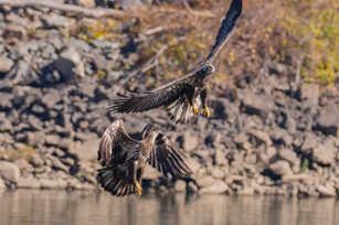 Eagle Fight!.jpg