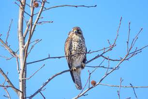 Coopers Hawk Watching.jpg