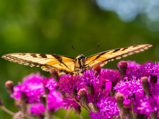 Canadian Tiger Swallowtail Butterfly 3.j