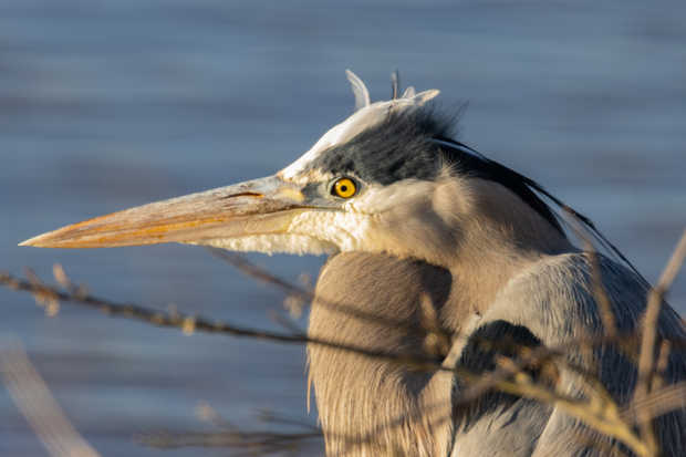 Great Blue Heron Eyes.jpg