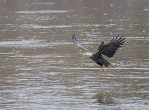 Eagle Fishing 1.jpg