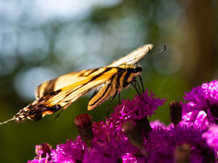 Canadian Tiger Swallowtail Butterfly 2.j