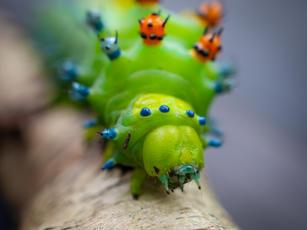 Cecropia Moth Caterpillar Face.jpg