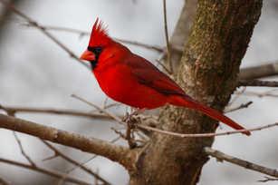 Northern Cardinal Male.jpg
