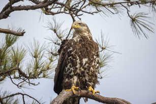 Adolescent Eagle 8.jpg