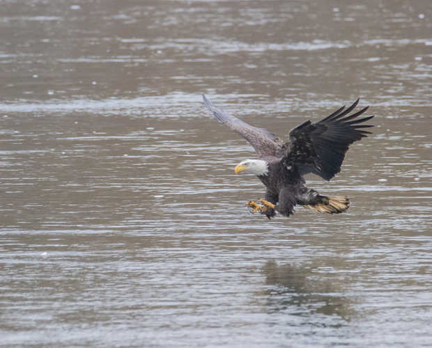 Eagle Fishing 2.jpg