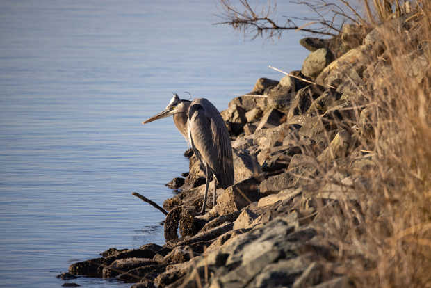 Great Blue Heron at Sunrise.jpg