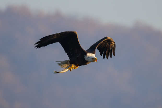 Eagle with Fish Meal.jpg