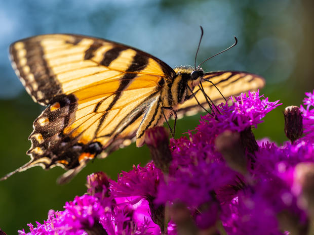 Canadian Tiger Swallowtail Butterfly 1.j