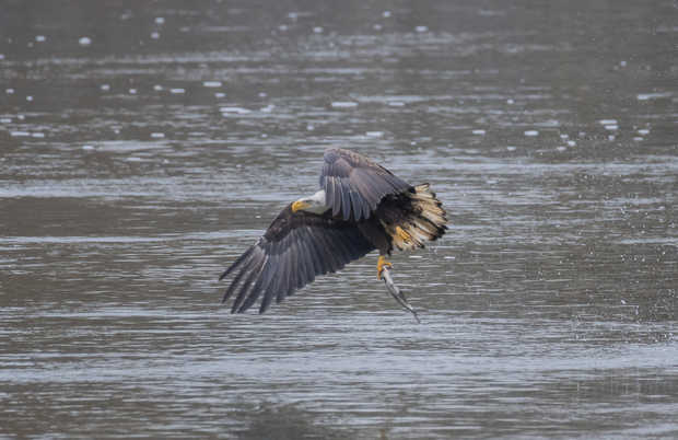 Eagle Fishing 5.jpg