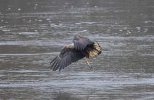 Eagle Fishing 5.jpg